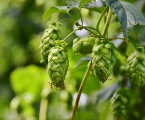 Close Up of Hop Cones on Vine