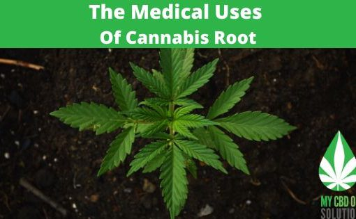the medical uses of cannabis root